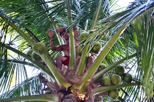 Kuya--climbed the coconut tree like a pro.