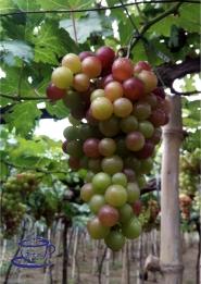 Grape Farm in La Union