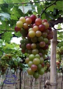 grape farm bauang la union 3